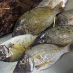 Lautoka Wharf ラウトカのFish Market